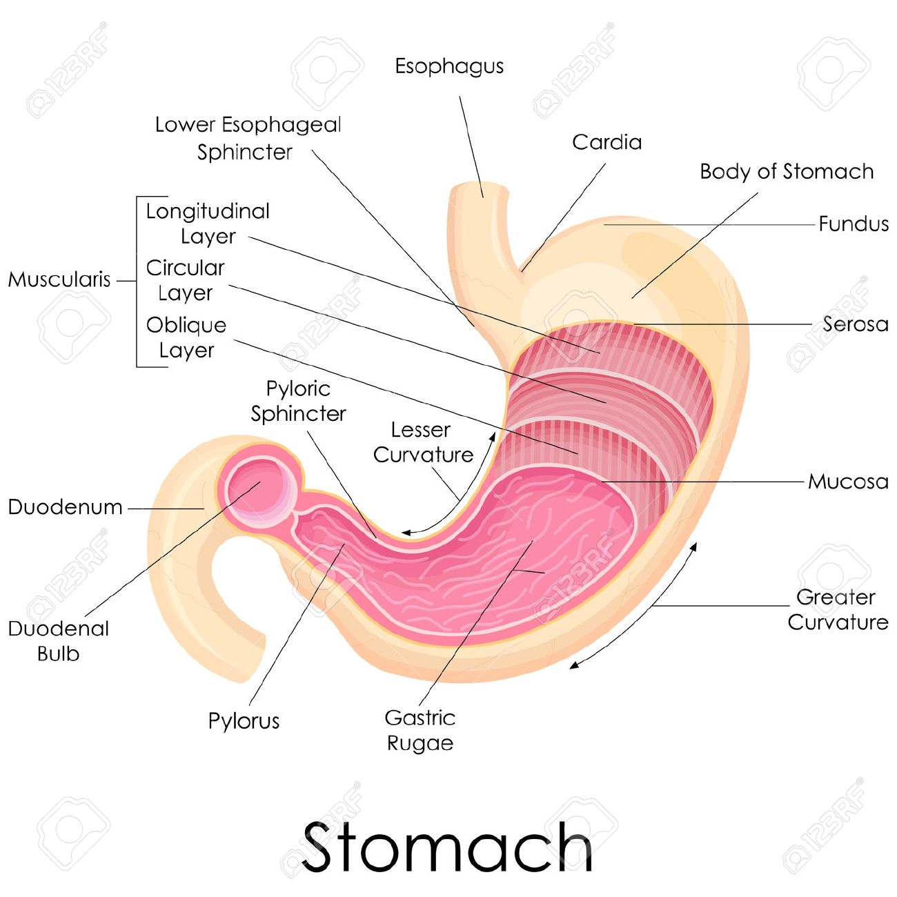 Vector Illustration Of Diagram Of Human Stomach Anatomy Stock Photo ...