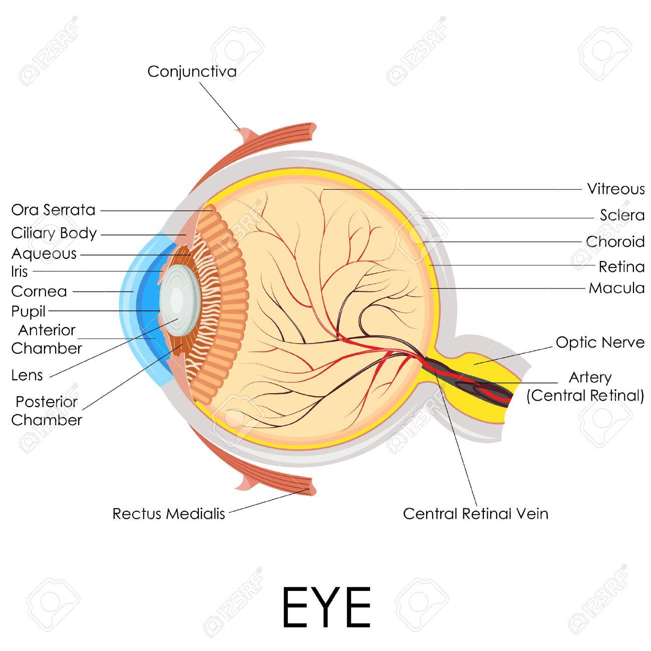 Ilustración Vectorial De Diagrama De La Anatomía Del Ojo Humano ...