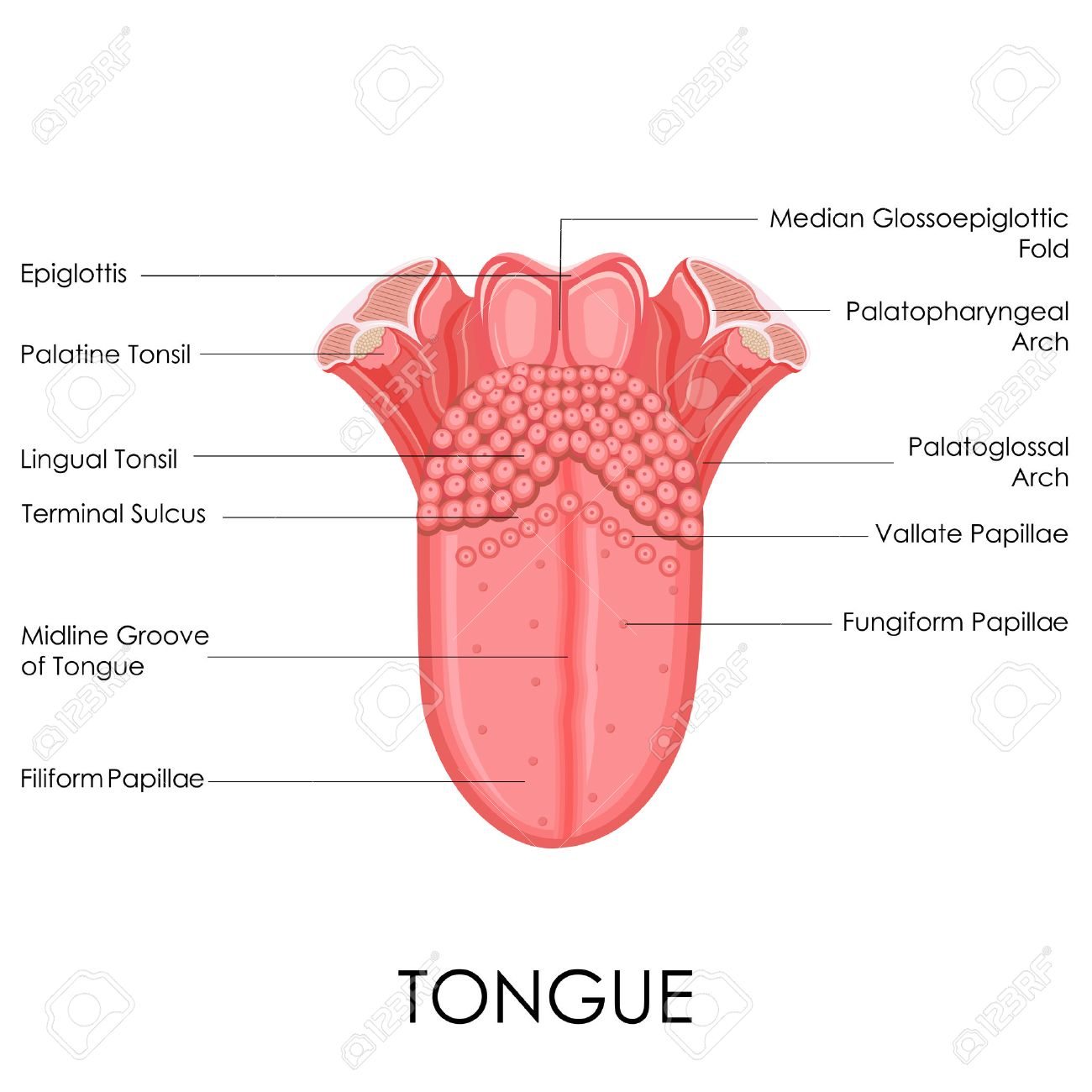 vector illustration of diagram of human tongue anatomy royalty free