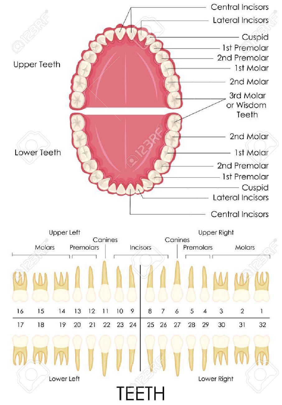Vektor-Illustration Von Diagramm Der Menschlichen Anatomie Der Zähne ...