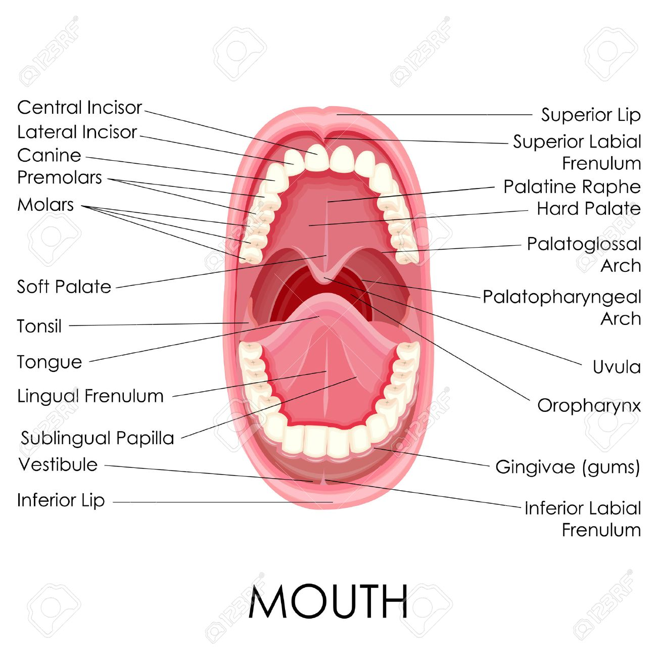 vector illustration of diagram for anatomy of human mouth royalty  : human mouth diagram - findchart.co