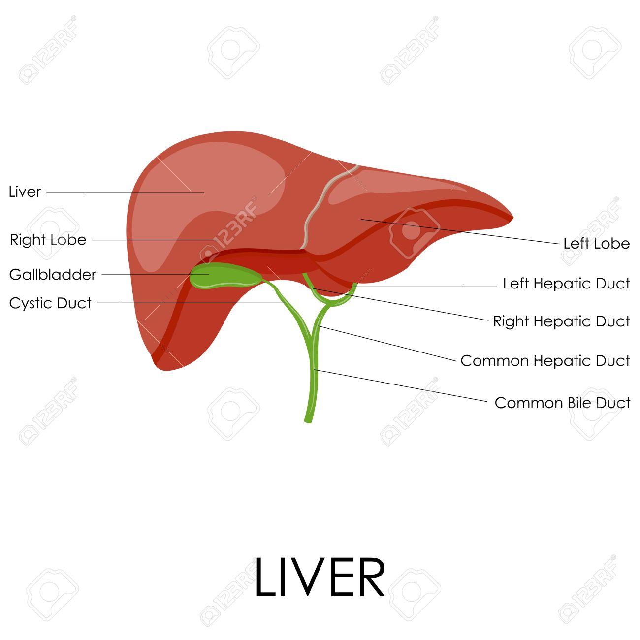 Ilustración Vectorial De Diagrama De La Anatomía Del Hígado Humano ...