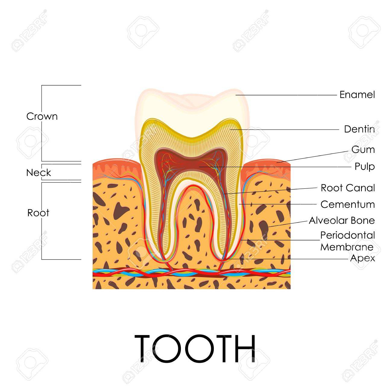 Vector Illustration Of Diagram Of Human Tooth Anatomy Royalty Free