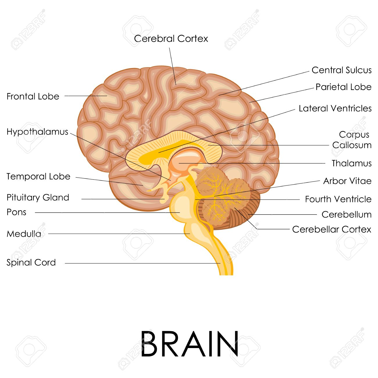 Vector Illustration Of Diagram Of Human Brain Anatomy Royalty Free ...