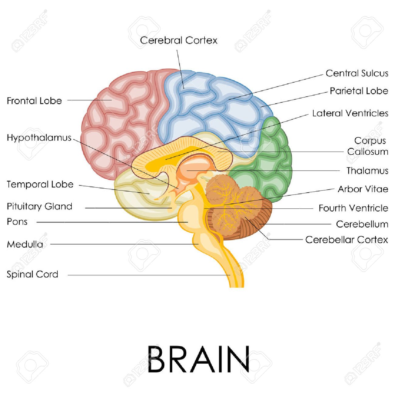 vector illustration of diagram of human brain anatomy royalty free  : brain anatomy diagram - findchart.co