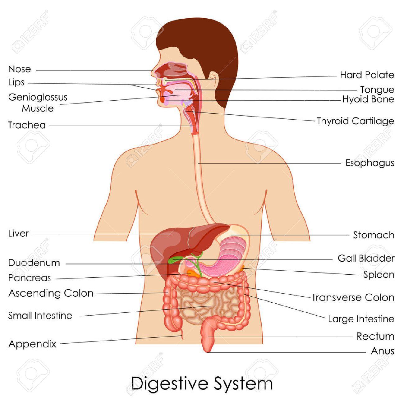Ilustración Vectorial De Diagrama Del Sistema Digestivo ...