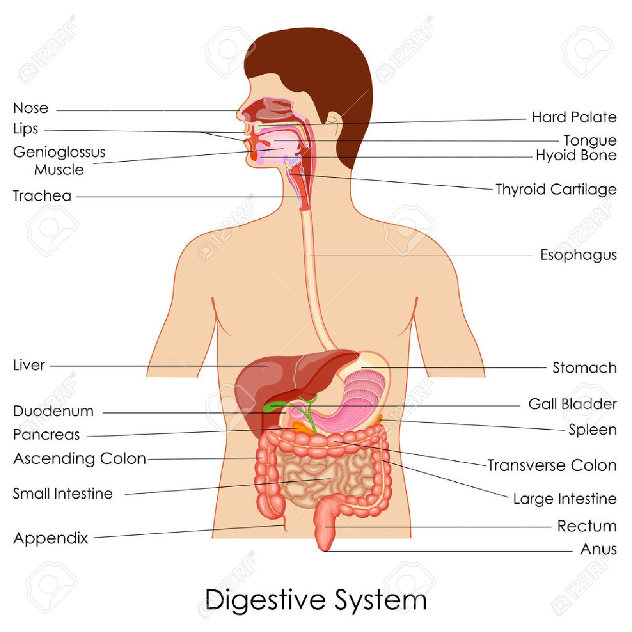 Vector Illustration Of Diagram Of Digestive System Royalty Free ...
