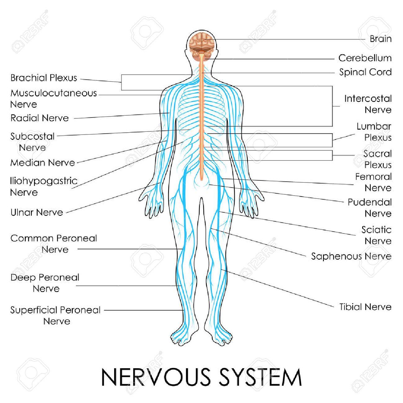 vector illustration of diagram of nervous system royalty free  : nerves diagram - findchart.co