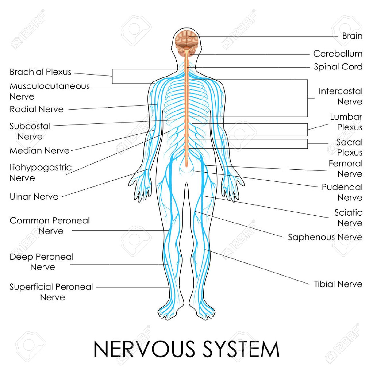 Vector Illustration Of Diagram Of Nervous System Royalty Free ...