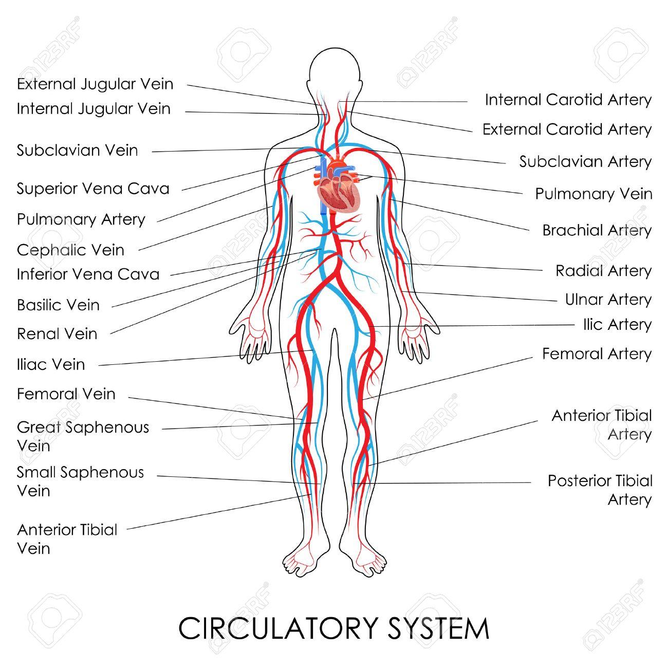 Ilustración Vectorial De Diagrama Del Sistema Circulatorio ...