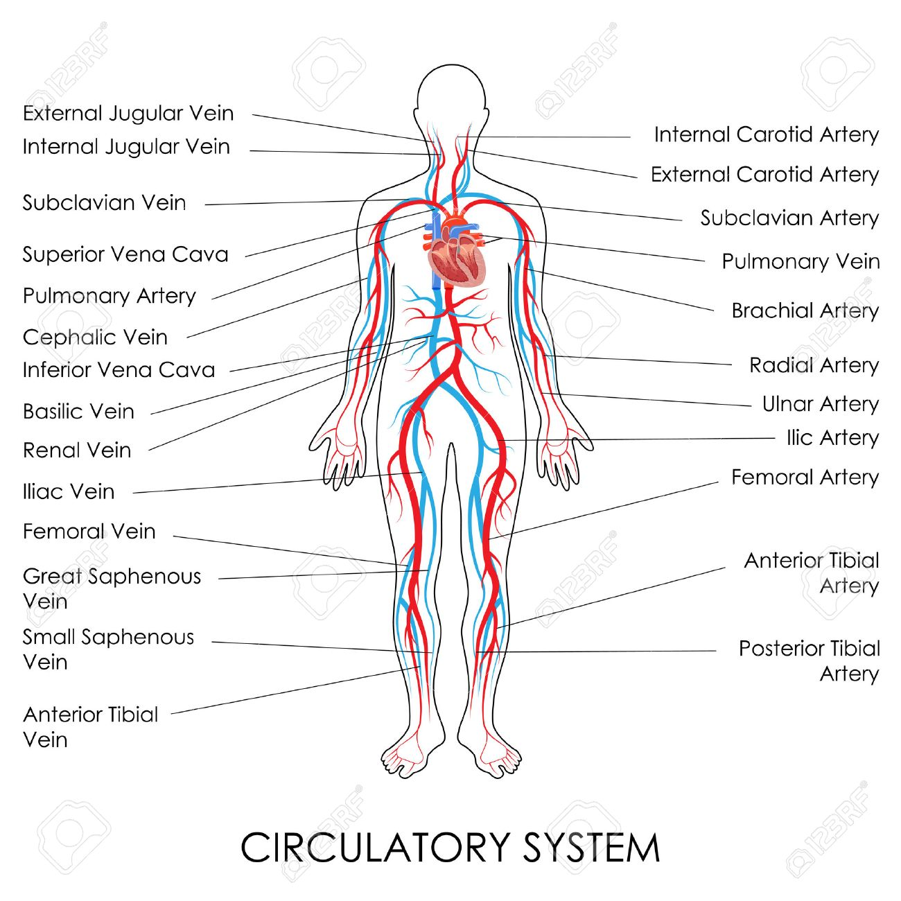 Vector Illustration Of Diagram Of Circulatory System Royalty Free