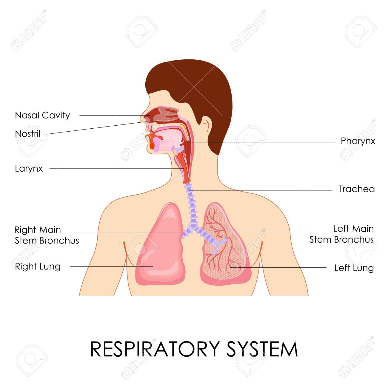 Vector illustration of diagram of respiratory system royalty free vector illustration of diagram of respiratory system stock vector 27446801 ccuart Choice Image