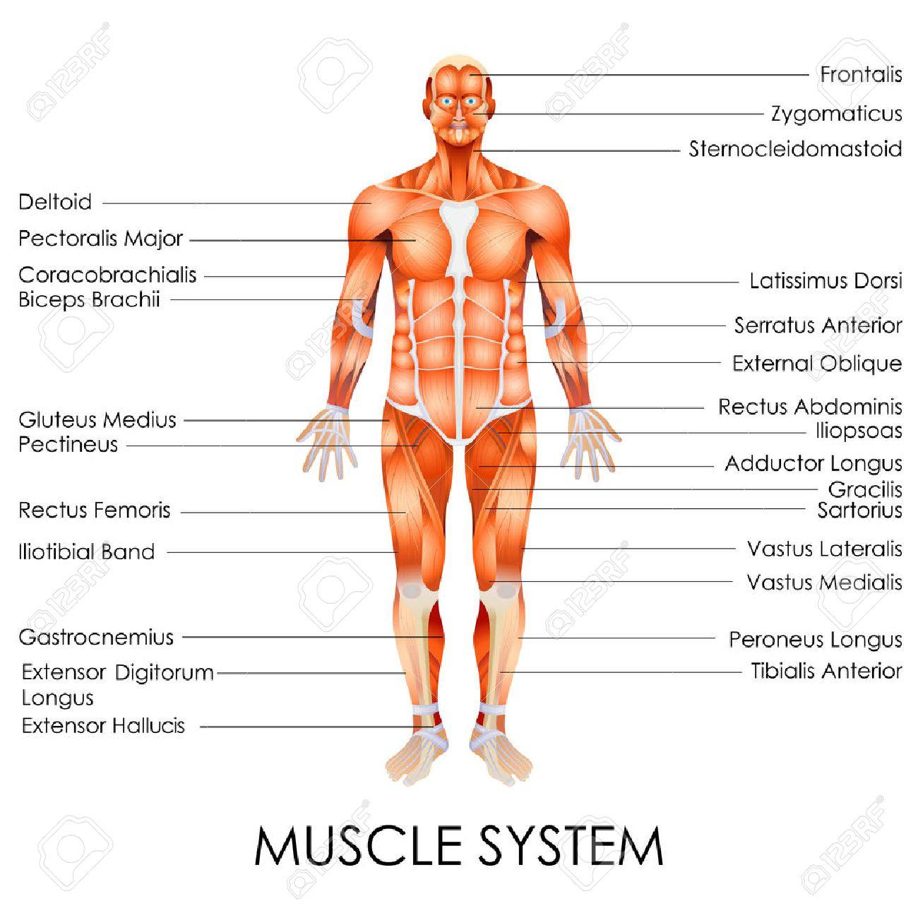 筋肉システムの図のベクトル イラストのイラスト素材ベクタ Image