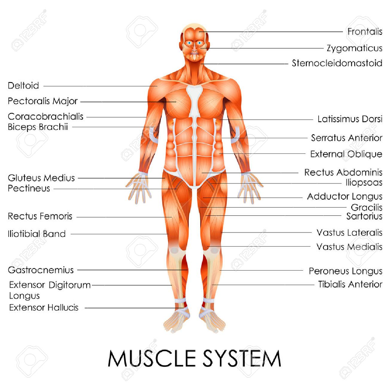 Vector Illustration Of Diagram Of Muscular System Royalty Free