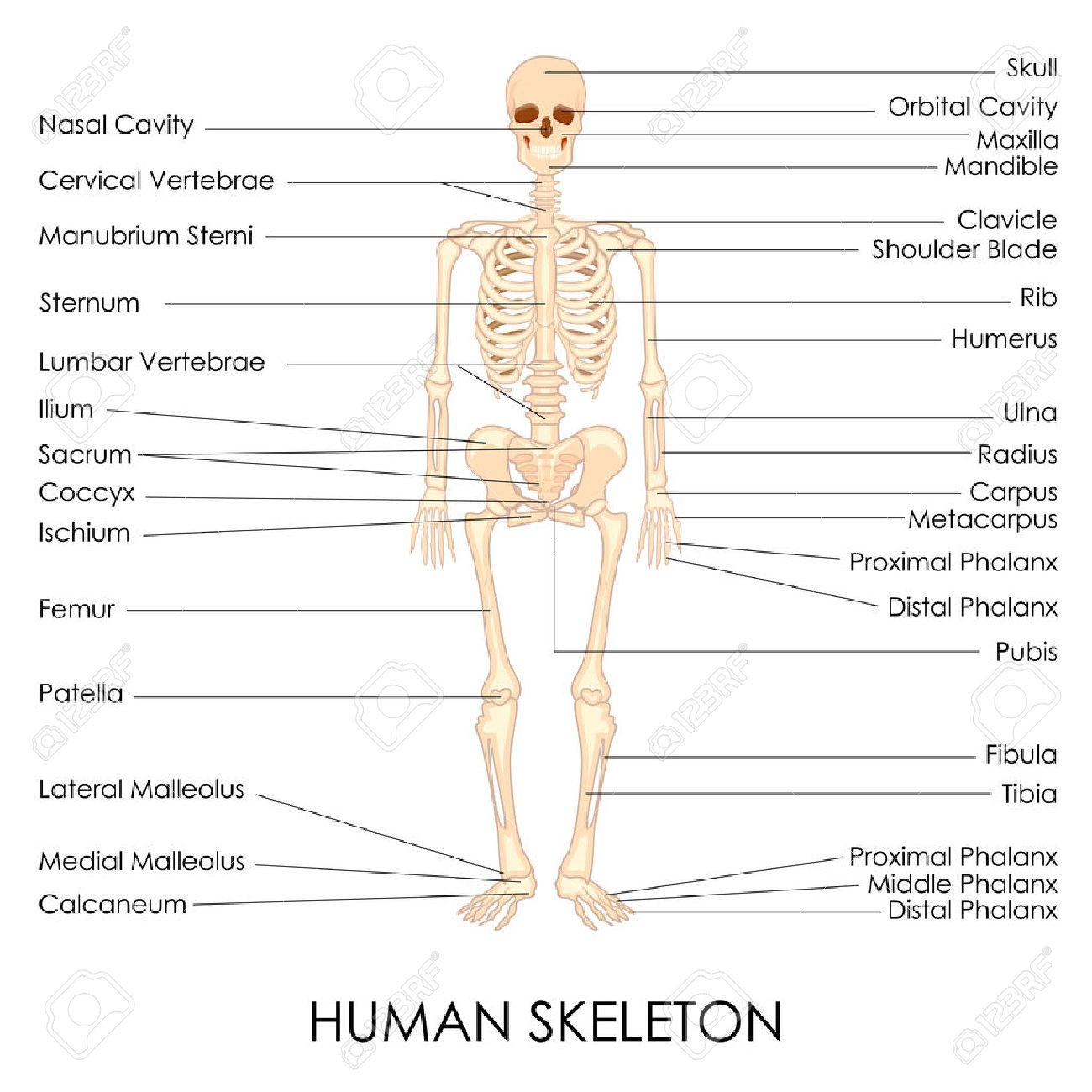 Ilustración Vectorial De Diagrama De Esqueleto Humano Ilustraciones ...