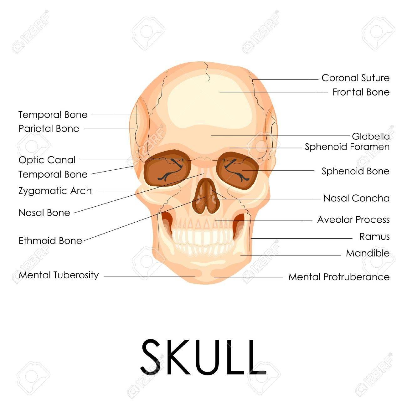 Ilustración Vectorial De Diagrama Del Cráneo Humano Ilustraciones ...