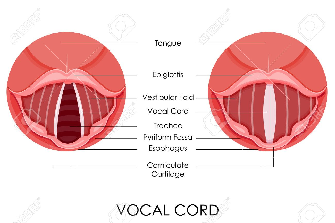 Vector Illustration Of Diagram Of Vocal Cord Royalty Free Cliparts ...