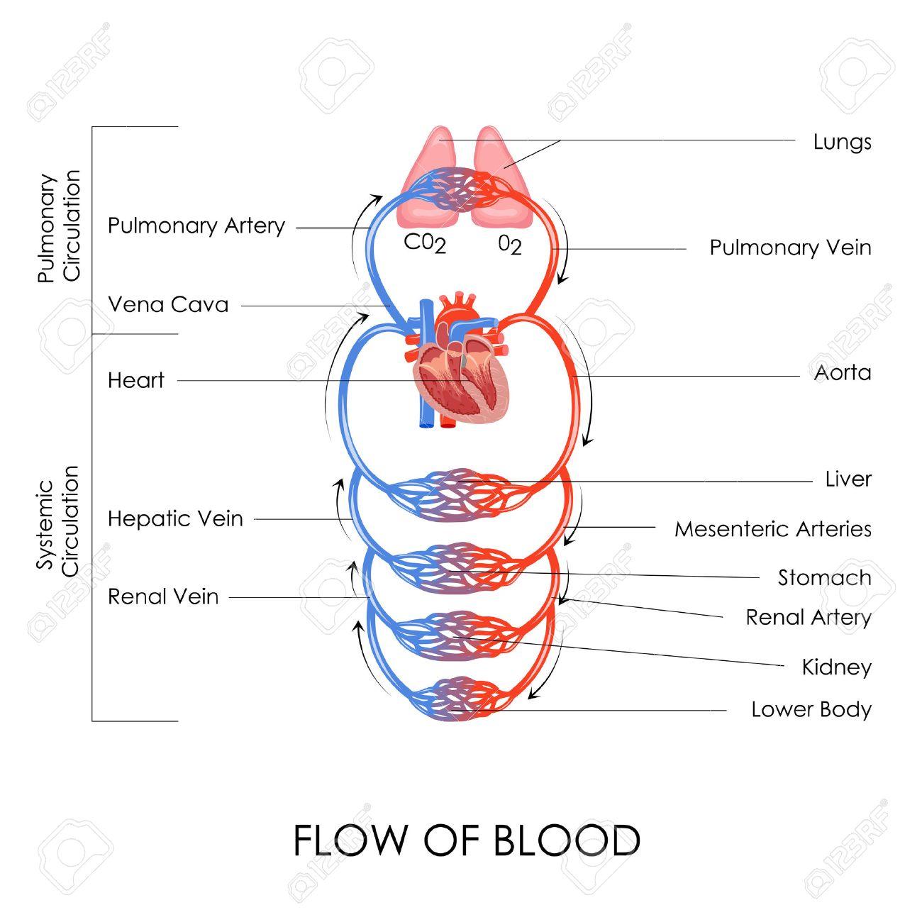 Ilustración Vectorial De Flujo De Sangre En El Sistema Circulatorio ...