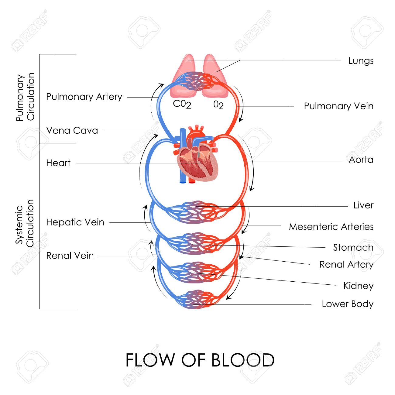 Vector illustration of flow of blood in circulatory system royalty vector illustration of flow of blood in circulatory system stock vector 27446815 pooptronica Choice Image