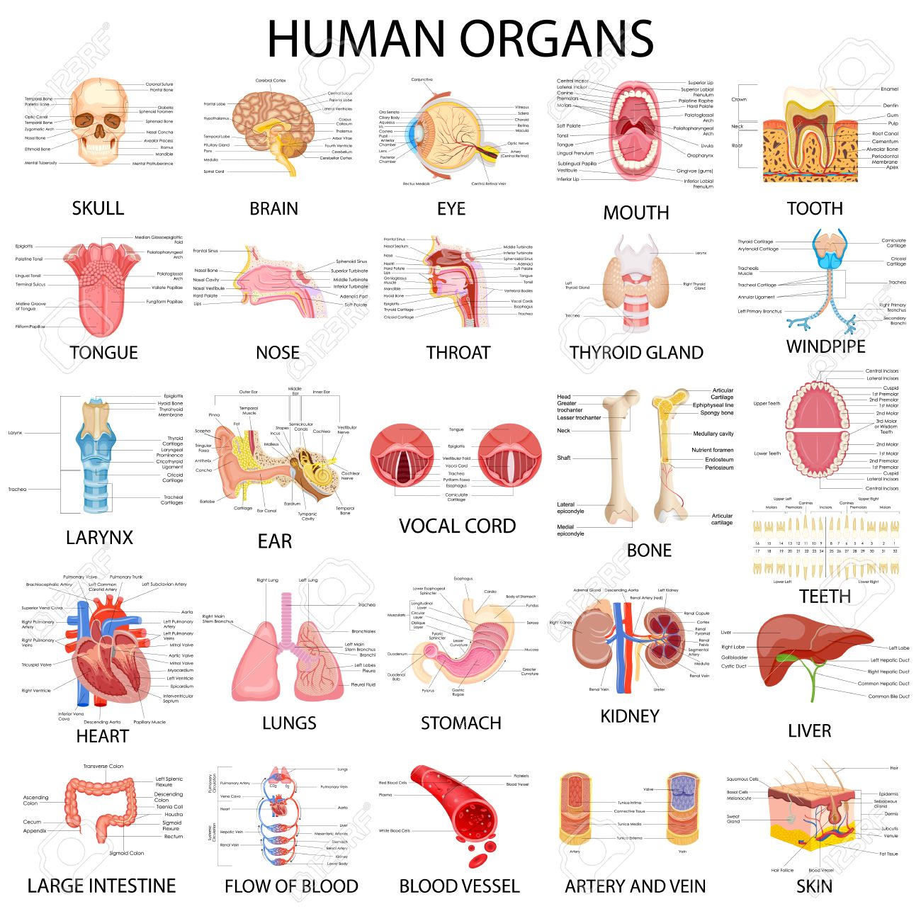 Vector Illustration Of Complete Chart Of Different Human Organs ...