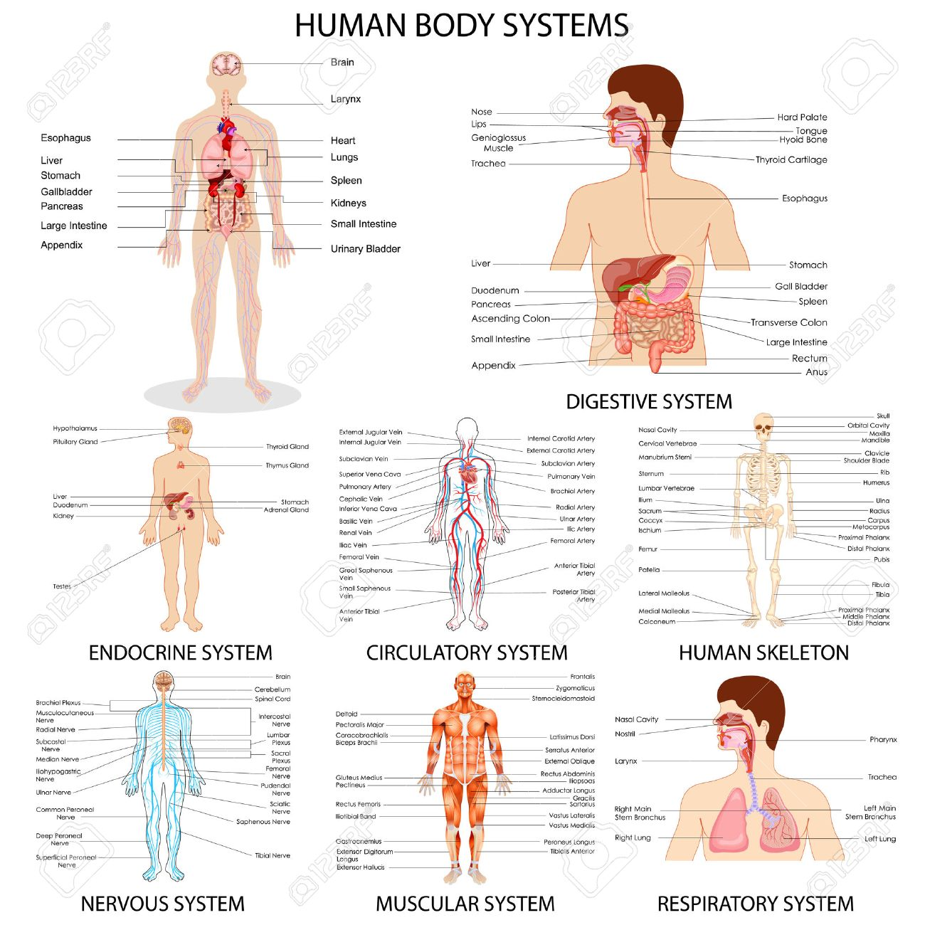 Vector Illustration Of Complete Chart Of Different Human Organ ...