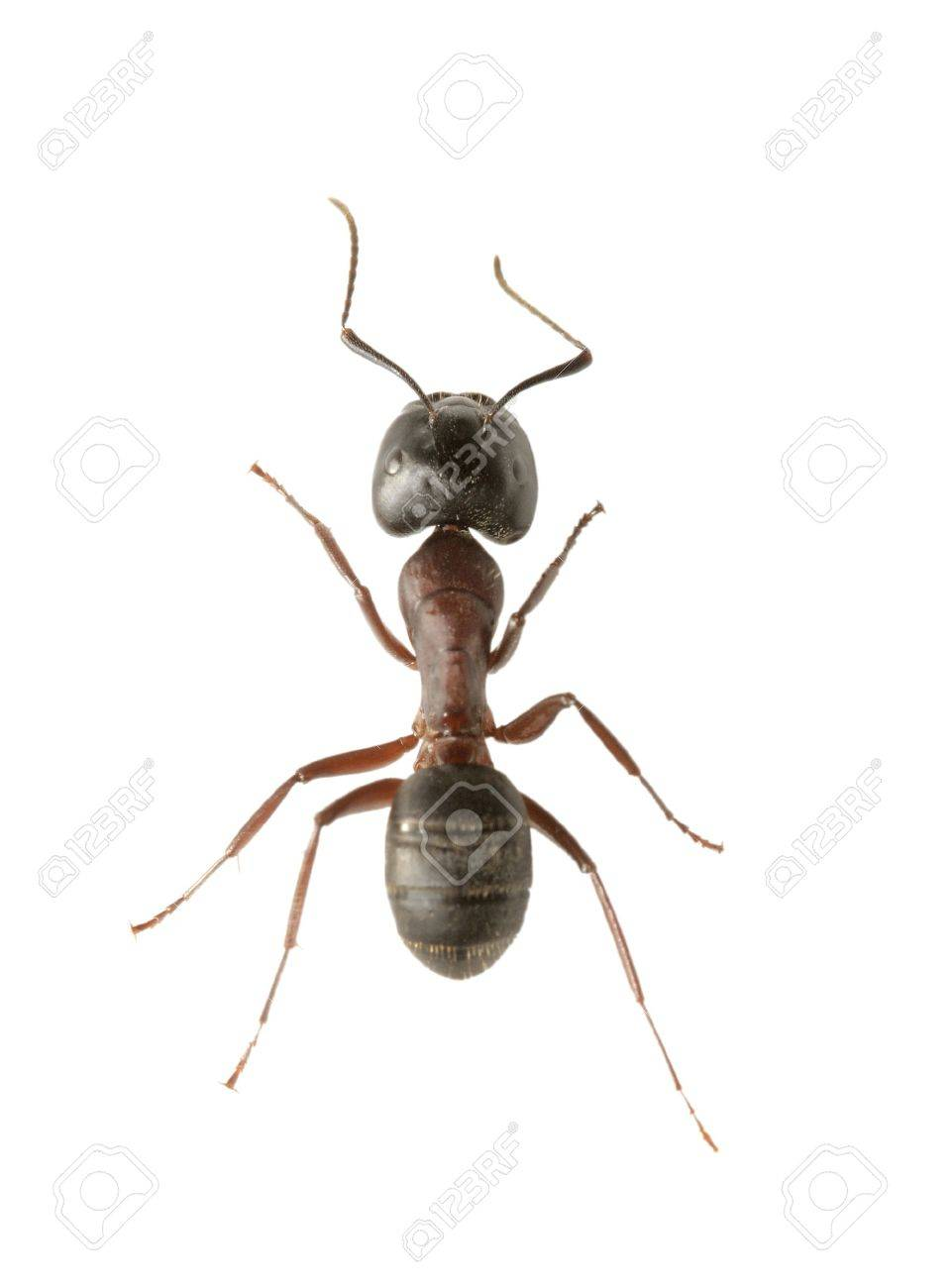 A Small ant isolated on white. Very short depth of field. Stock Photo - 4766793