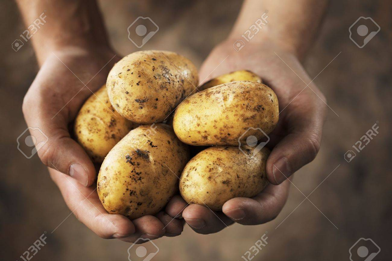 Hands holding dirty harvested potatoes - 5777428
