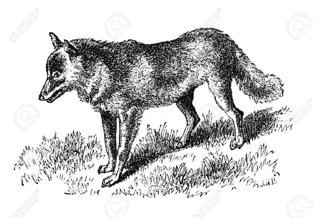 Mountain dwelling Coyote. Illustration originally published in Hesse-Wartegg's