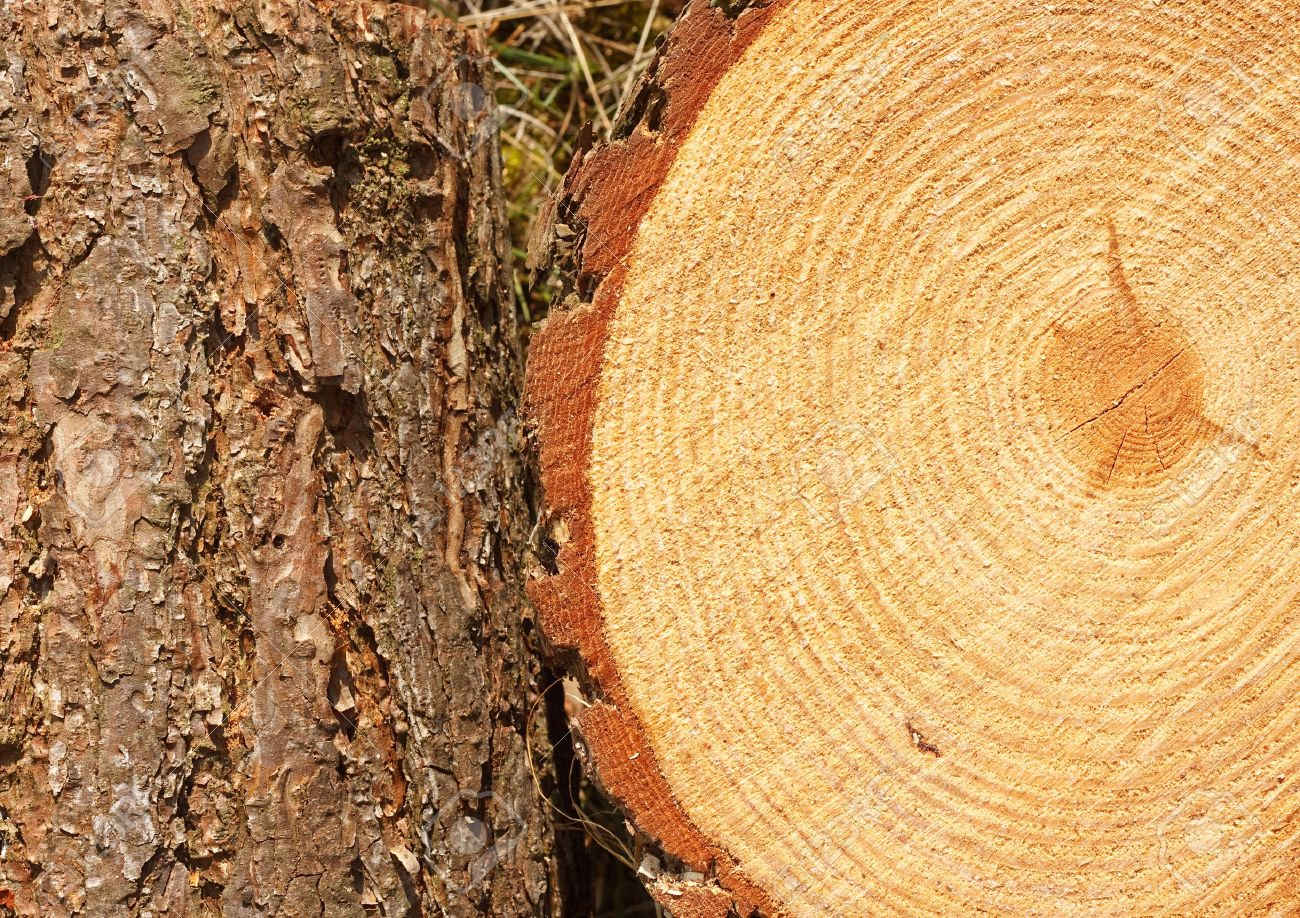 Amazing Pine Tree Timber #4: Superb Pine Tree Timber #4: Annual Rings On Freshly Cut Pine Tree With Bark  Border Good Background For The Timber Industry