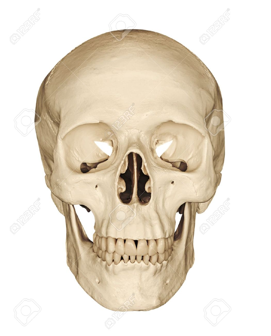 Medical Model Of A Human Skull Isolated Against A White Background ...