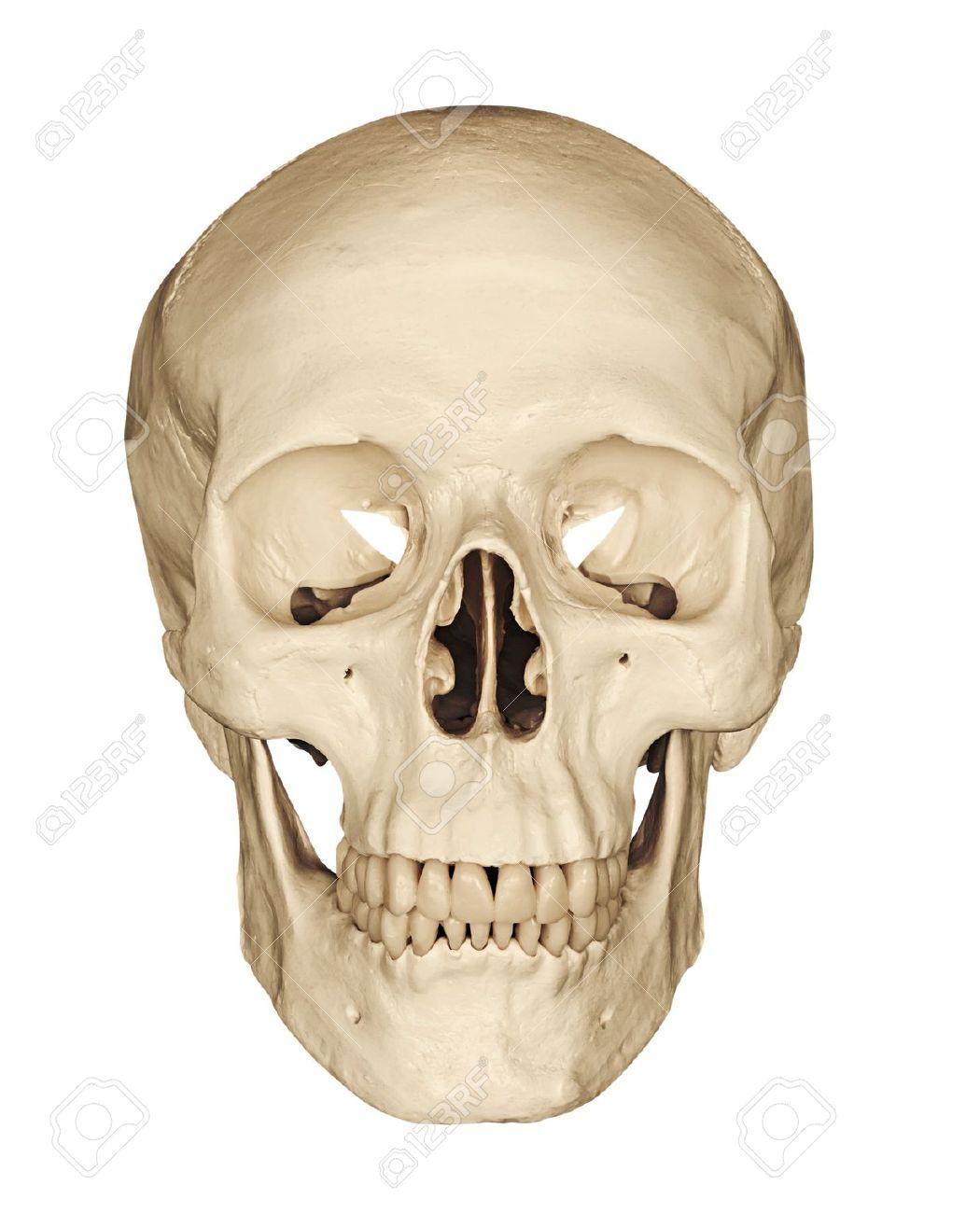 Medical Modell Eines Menschlichen Schädels Vor Einem Weißen ...
