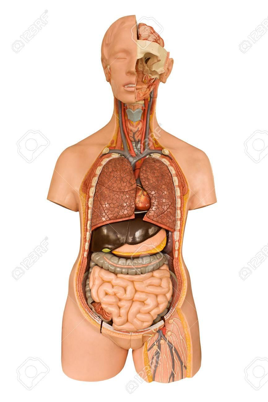Human Anatomy Models For Medical Students Images - human anatomy ...