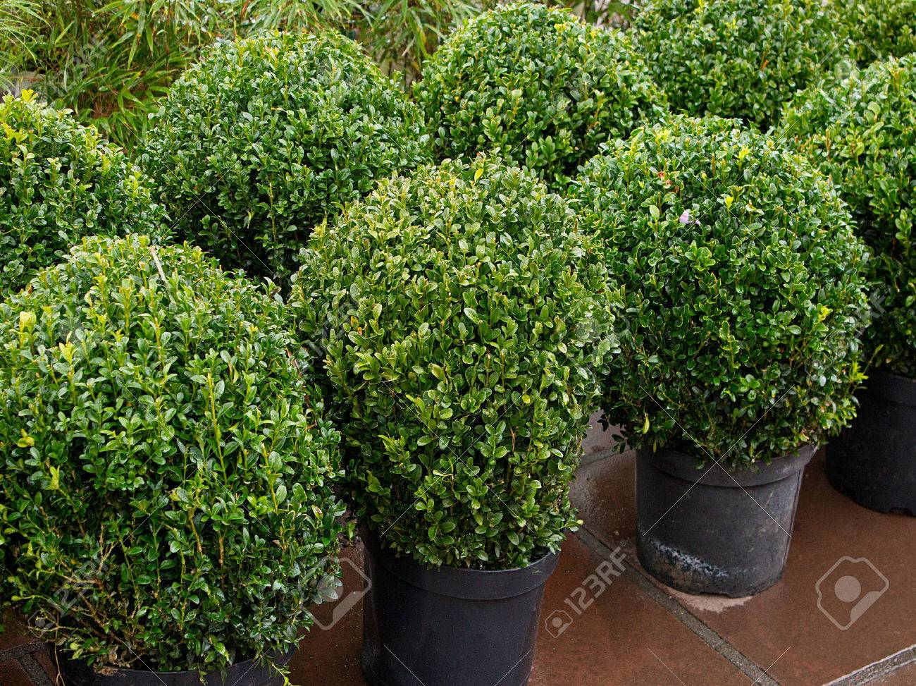garden bushes. Row Of Topiary Bushes In Pots For Sale At A Nursery Or Garden Centre Great E