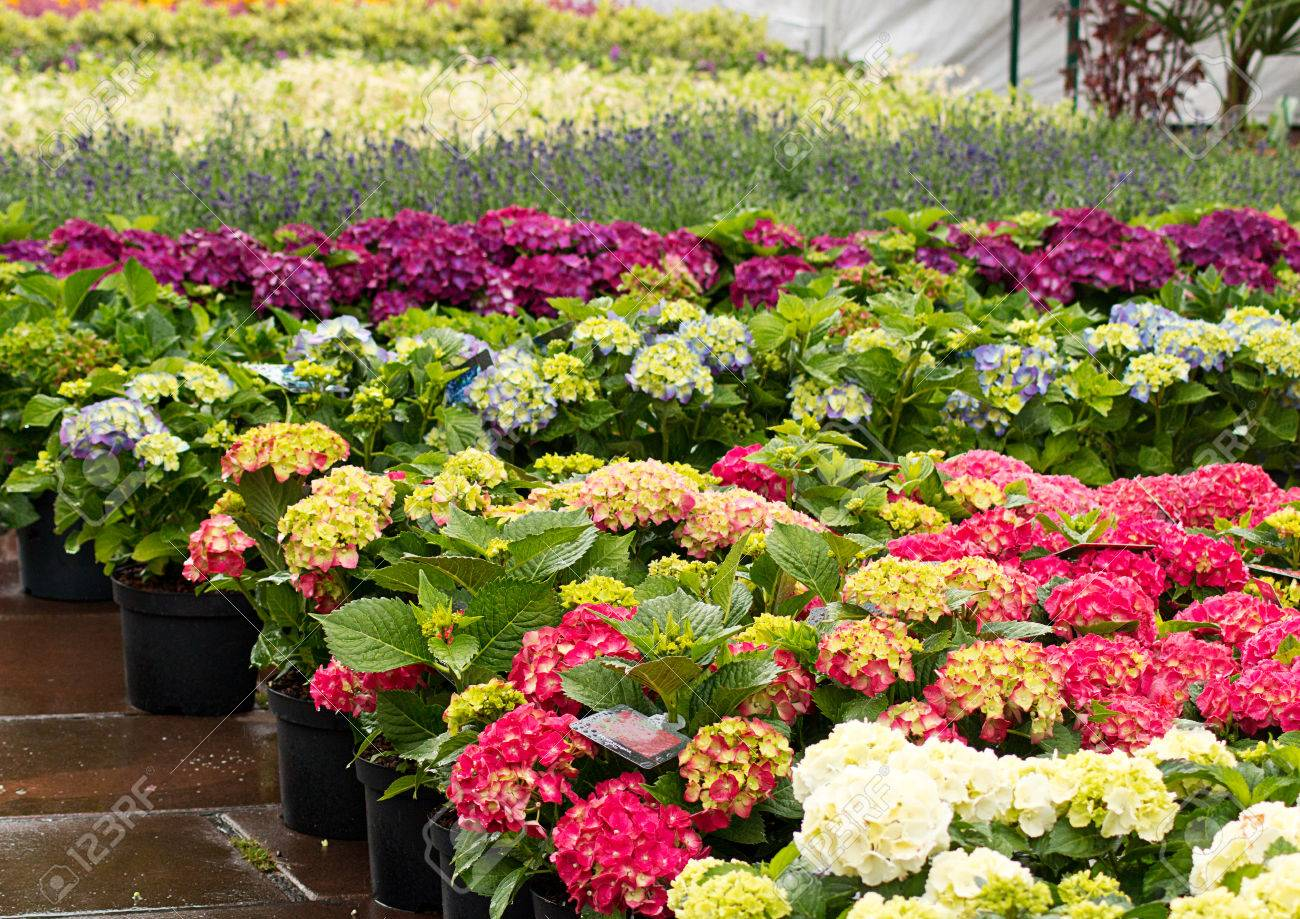 rows of flowers for sale at a retail garden center, nursery or..