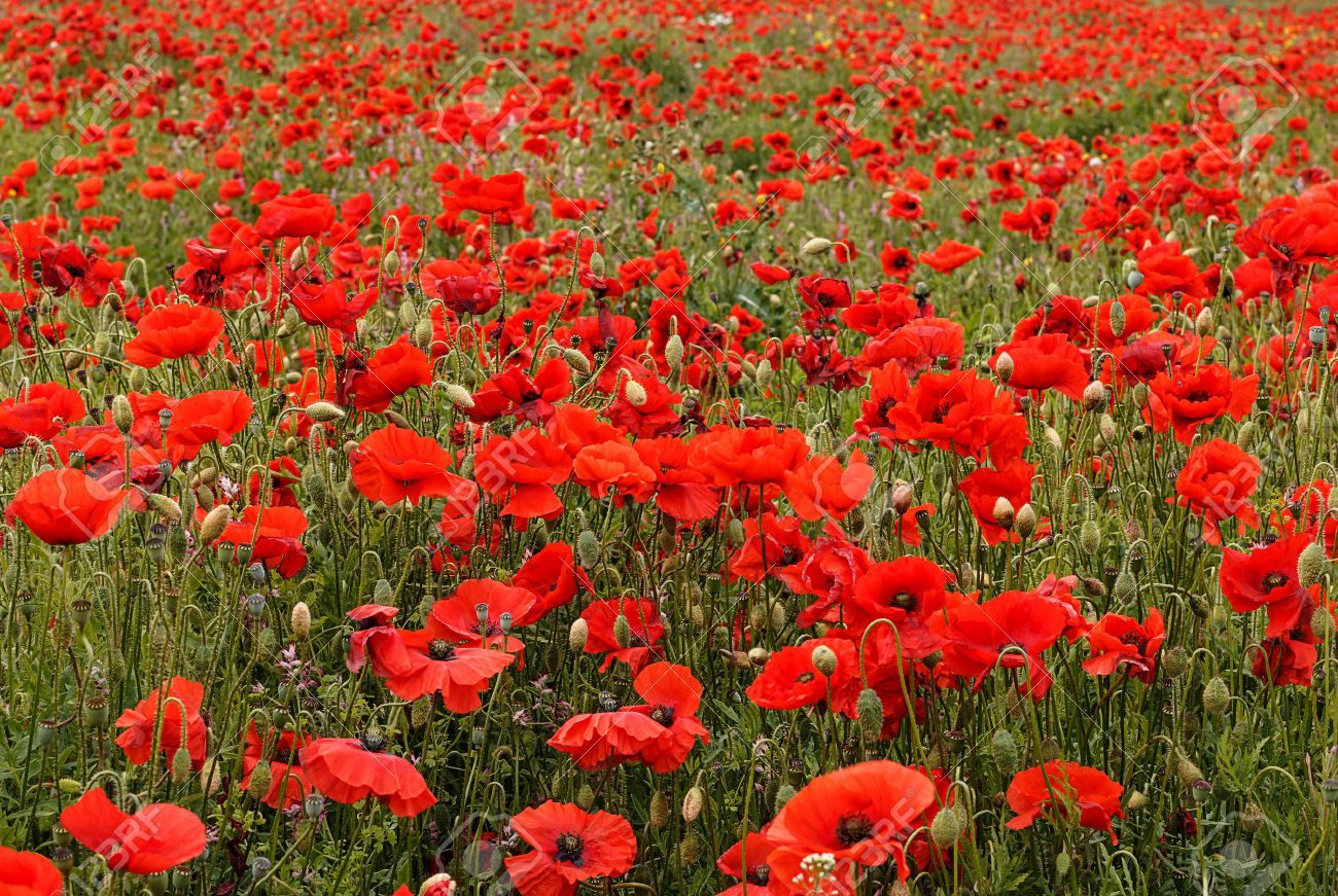 Wild poppies landscape scene typical of those used for remembrance stock photo wild poppies landscape scene typical of those used for remembrance sunday with that tradition symbol the red poppy flower mightylinksfo