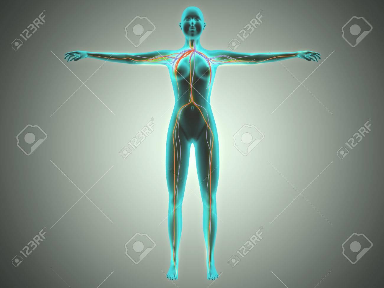 Anatomie Des Weiblichen Körpers Mit Arterien Und Venen. Lizenzfreie ...