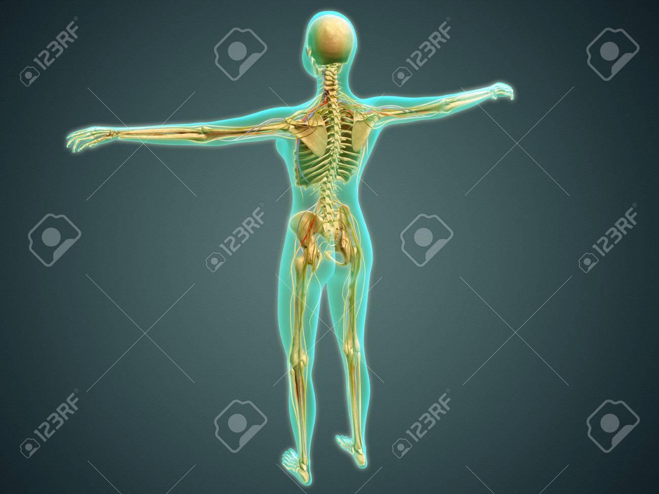 Bonito Diagrama Vena Cuerpo Imágenes - Imágenes de Anatomía Humana ...