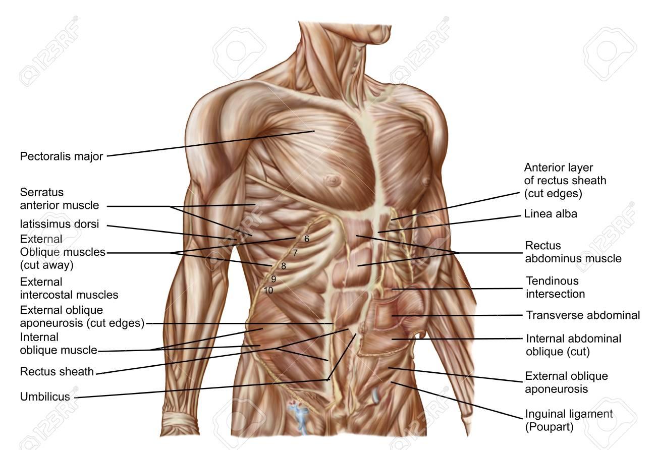 Anatomía De Los Músculos Abdominales Humanos. Fotos, Retratos ...