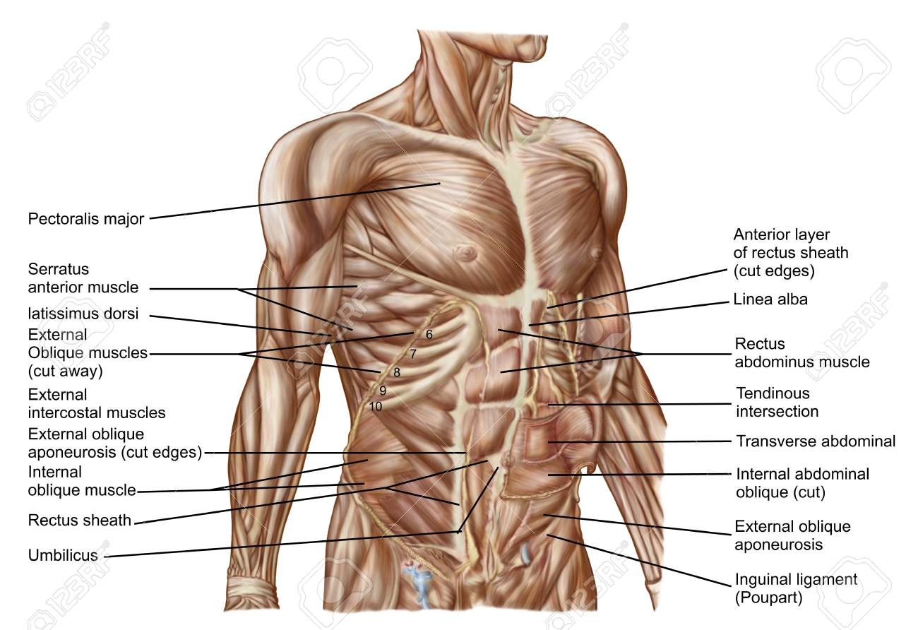 Anatomy Of Human Abdominal Muscles Stock Photo Picture And Royalty