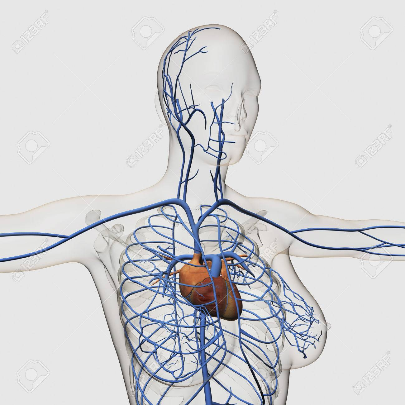 Medical Illustration Of Circulatory System With Heart And Veins ...