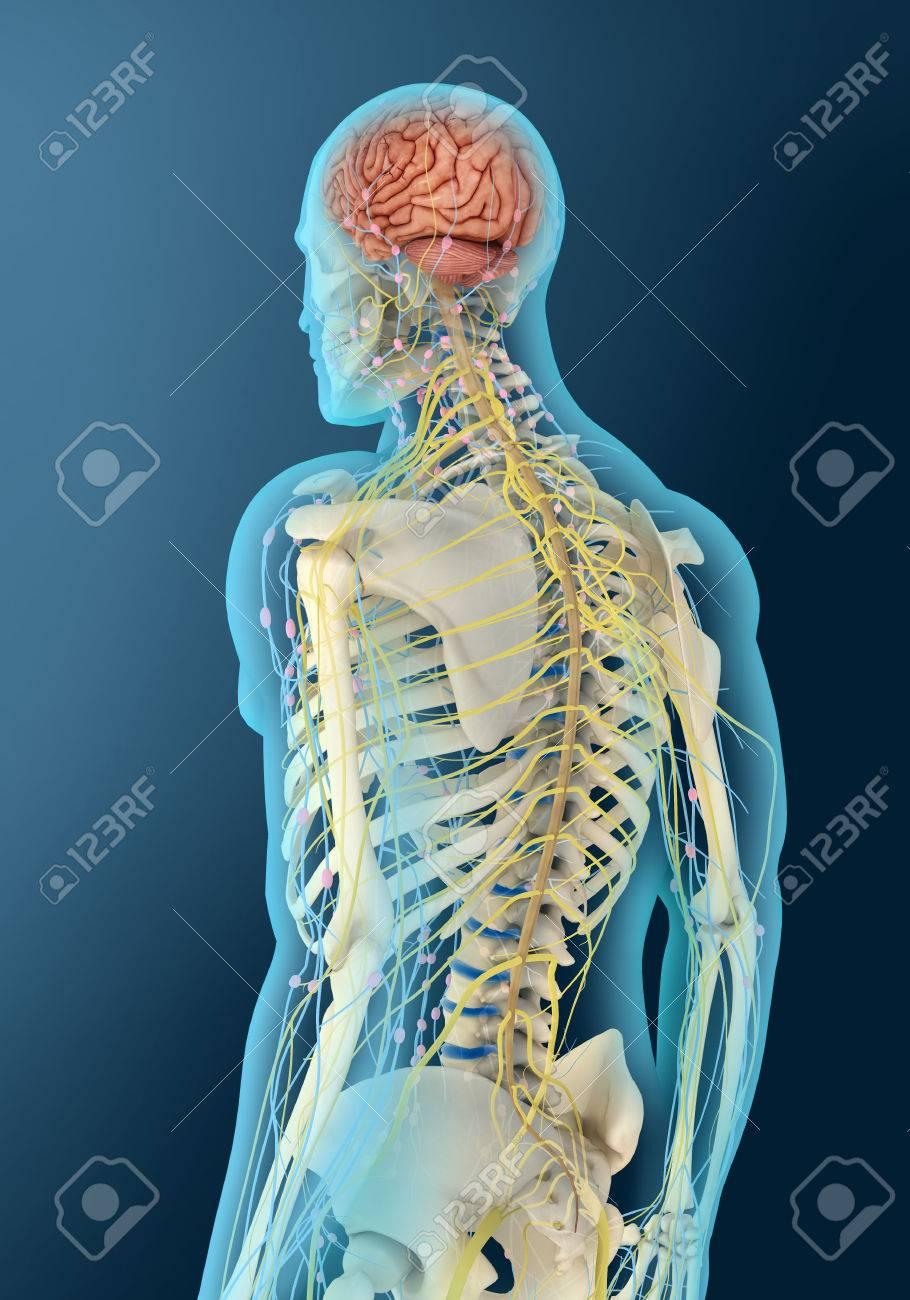 Ilustración Médica Del Cerebro Humano Y El Tallo Cerebral, Vista En ...