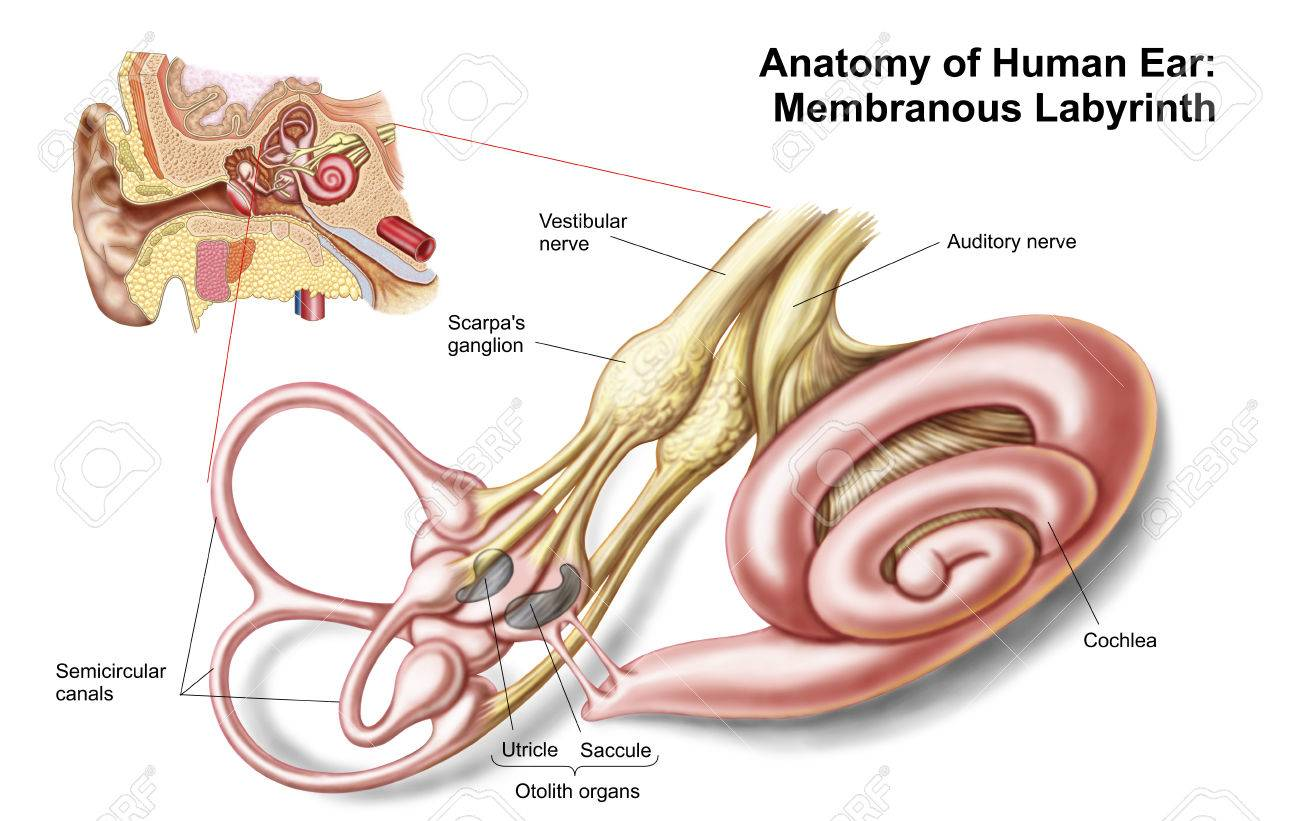 Anatomie Des Menschlichen Ohres, Membranöses Labyrinth. Lizenzfreie ...