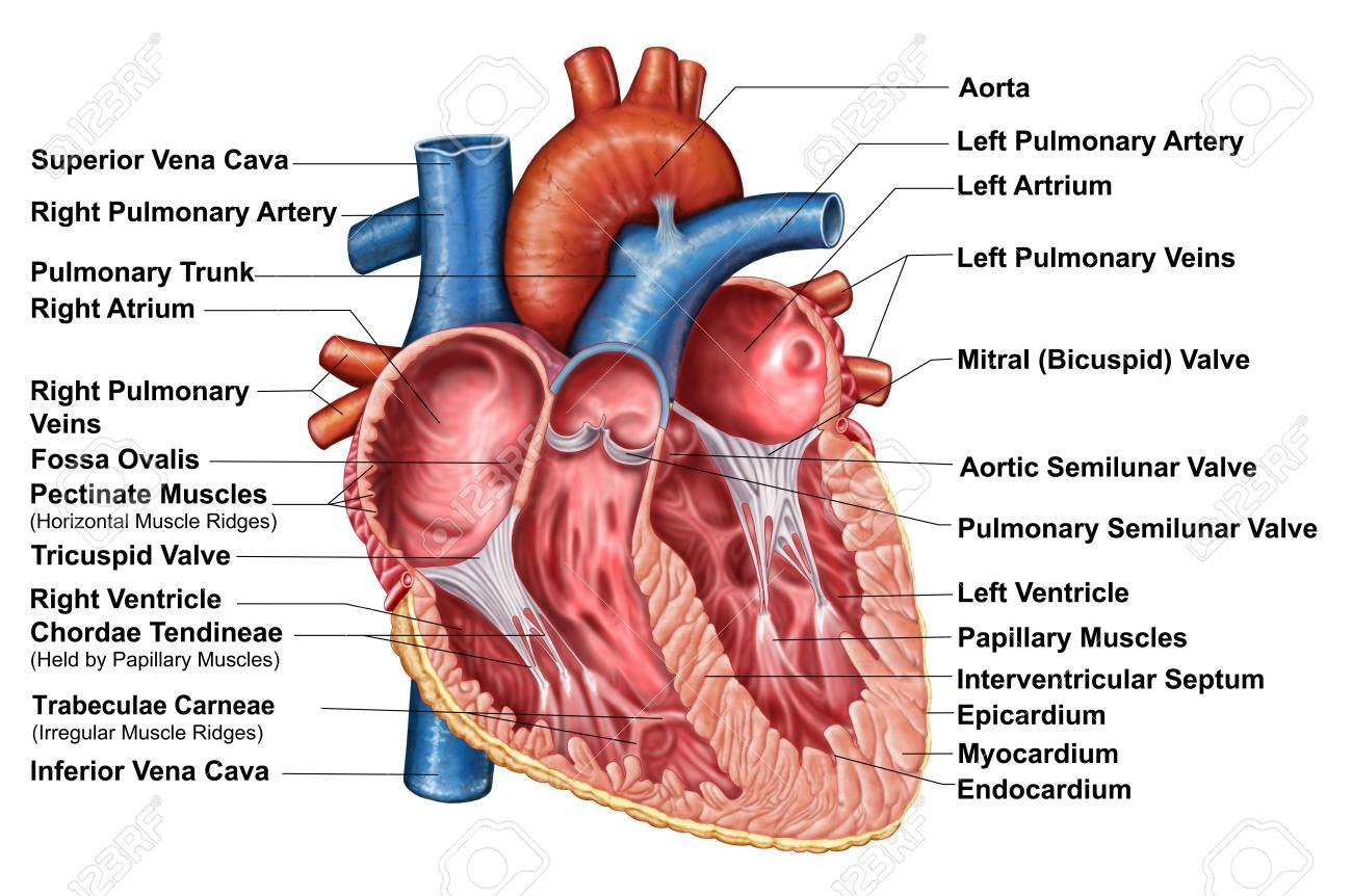 Anatomy Of Heart Interior, Frontal Section. Stock Photo, Picture And ...