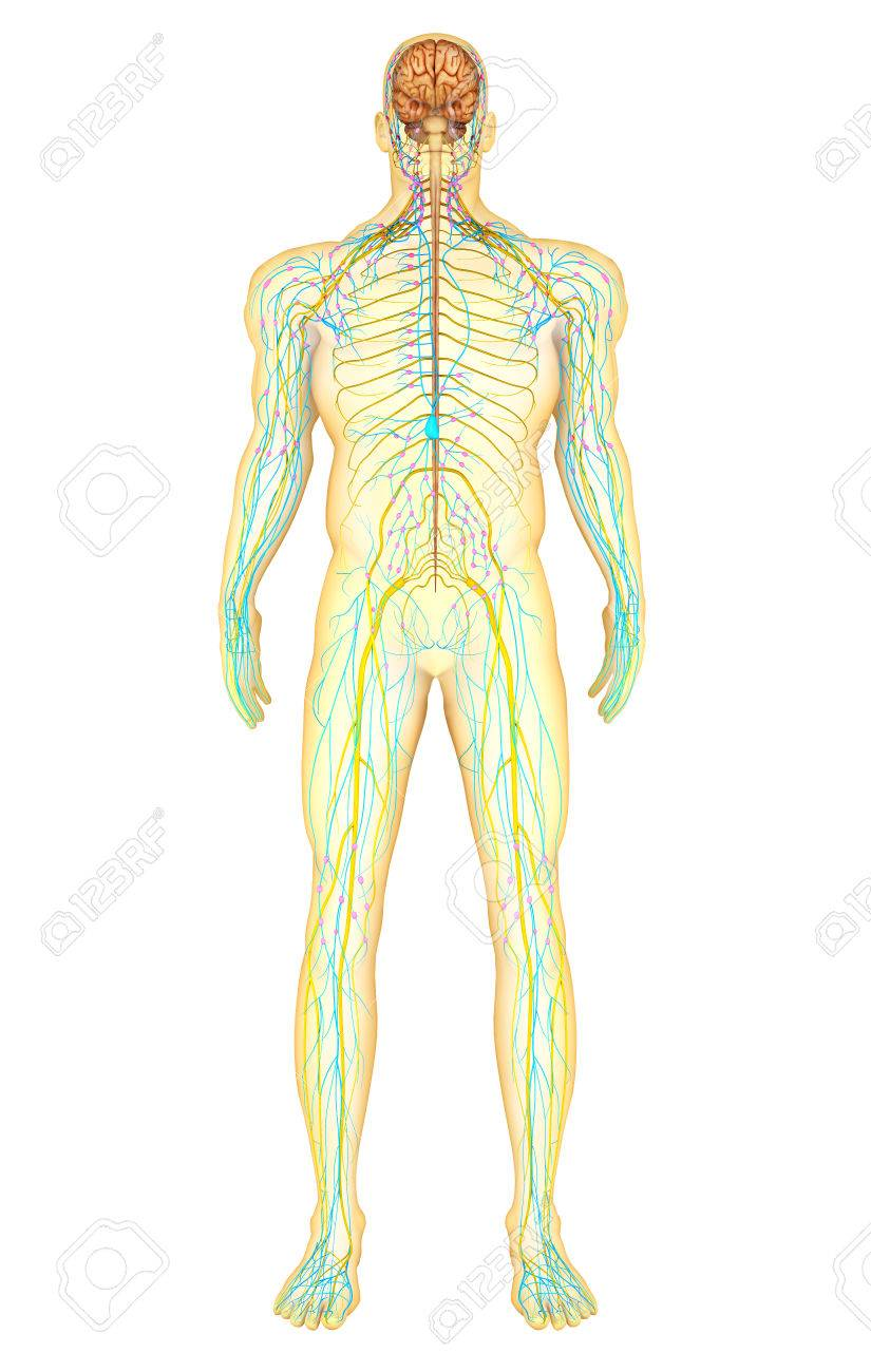Anatomy Of Human Nervous System And Lymphatic System Front View