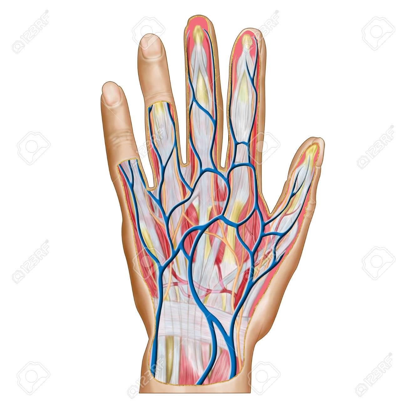 Anatomie Des Rückens Der Menschlichen Hand. Lizenzfreie Fotos ...