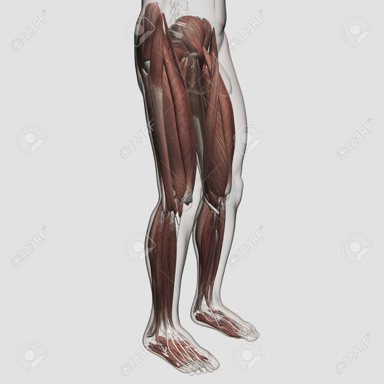 Male Muscle Anatomy Of The Human Legs, Anterior View. Stock Photo ...