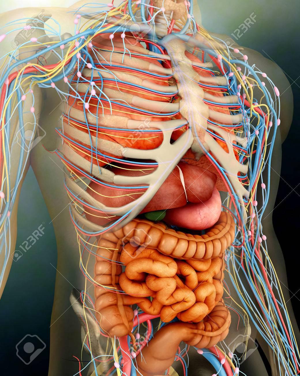 Vista En Perspectiva Del Cuerpo Humano, órganos Enteros Y Huesos ...
