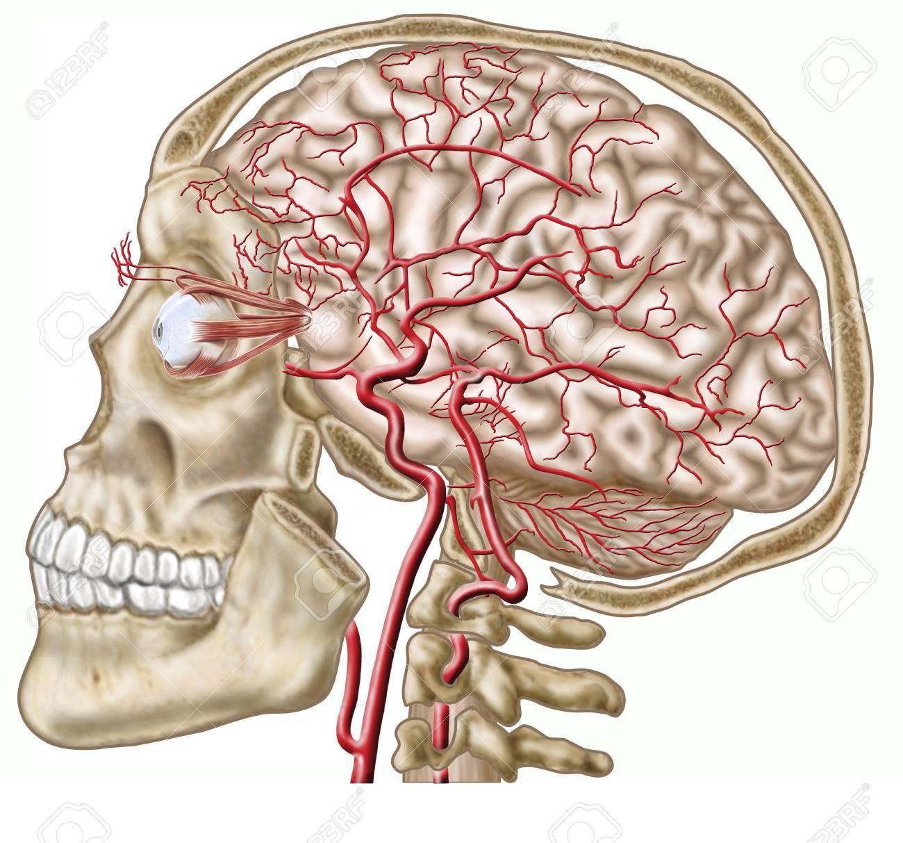 Anatomía Del Cráneo Humano, Globo Ocular Y Arterias Del Cerebro ...