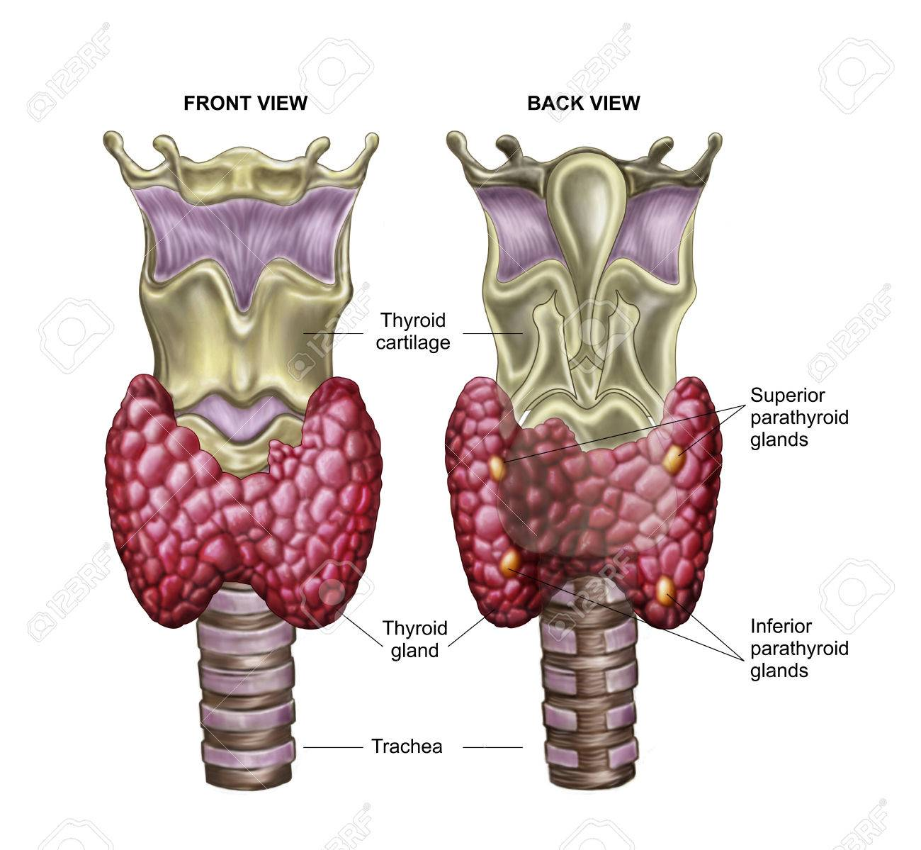 Anatomía De La Glándula Tiroides Con Laringe Y Cartílago. Fotos ...