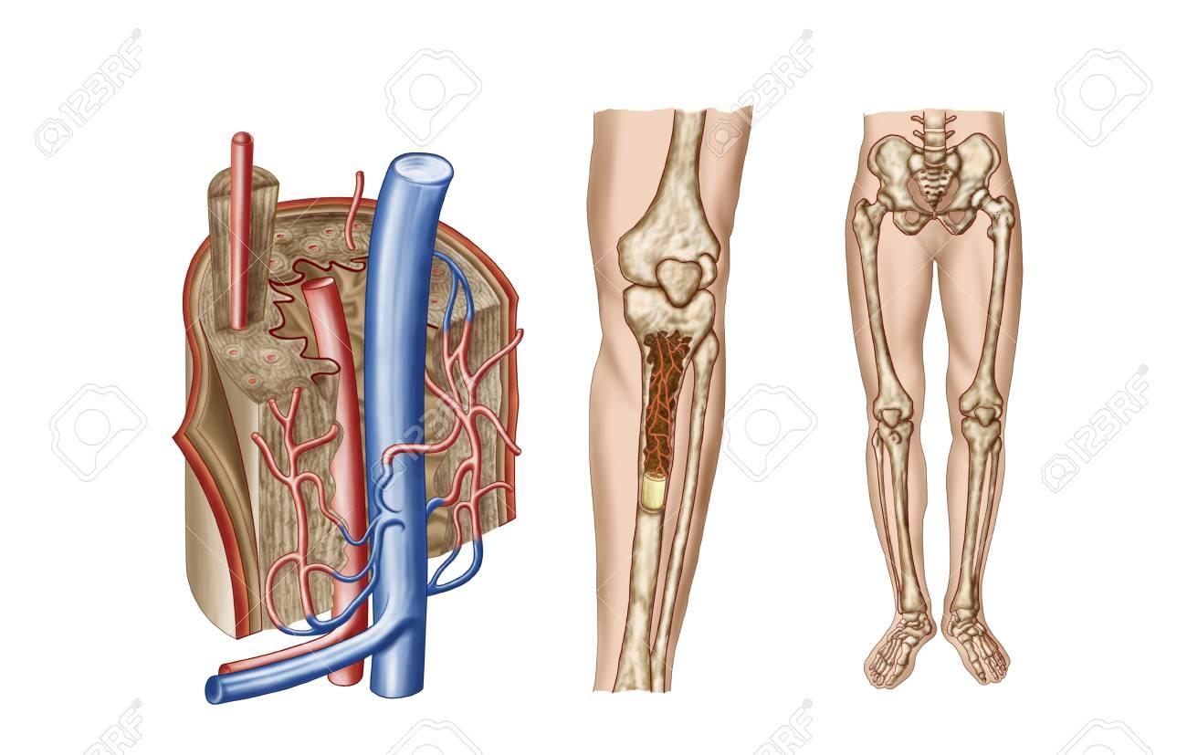 Anatomía De La Médula ósea Humana. Fotos, Retratos, Imágenes Y ...